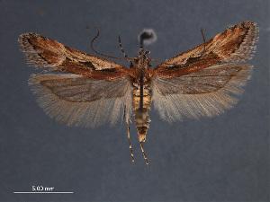 (Prolita invariabilis - SL0414)  @13 [ ] CreativeCommons - Attribution Non-Commercial Share-Alike (2011) Sangmi Lee Mississippi Entomological Museum
