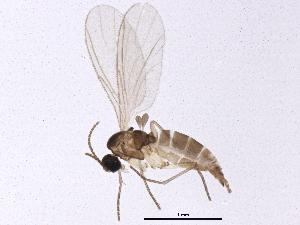 (Corynoptera subdentata - BIOUG04114-A02)  @13 [ ] CreativeCommons - Attribution Non-Commercial Share-Alike (2013) CBG Photography Group Centre for Biodiversity Genomics