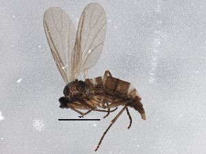 (Bradysia leptoptera - BIOUG04114-B04)  @13 [ ] CreativeCommons - Attribution Non-Commercial Share-Alike (2013) CBG Photography Group Centre for Biodiversity Genomics