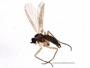 (Bradysia leptoptera - BIOUG04269-G02)  @13 [ ] CreativeCommons - Attribution Non-Commercial Share-Alike (2013) CBG Photography Group Centre for Biodiversity Genomics