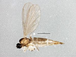 (Corynoptera alneti - BIOUG04433-F11)  @14 [ ] CreativeCommons - Attribution Non-Commercial Share-Alike (2013) CBG Photography Group Centre for Biodiversity Genomics