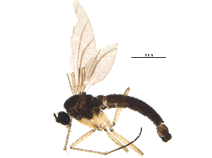 (Corynoptera flavicauda - BIOUG16900-D06)  @12 [ ] CreativeCommons - Attribution Non-Commercial Share-Alike (2015) CBG Photography Group Centre for Biodiversity Genomics