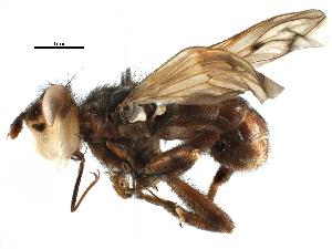 (Myopinae - BIOUG17000-C03)  @15 [ ] CreativeCommons - Attribution Non-Commercial Share-Alike (2015) CBG Photography Group Centre for Biodiversity Genomics
