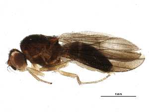 (Campichoeta obscuripennis - BIOUG17095-E06)  @13 [ ] CreativeCommons - Attribution Non-Commercial Share-Alike (2015) CBG Photography Group Centre for Biodiversity Genomics