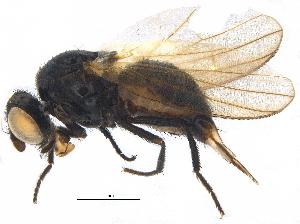 (Lonchaeidae - BIOUG17444-B02)  @14 [ ] CreativeCommons - Attribution Non-Commercial Share-Alike (2015) CBG Photography Group Centre for Biodiversity Genomics