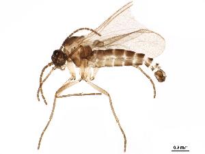 (Corynoptera unidentata - BIOUG42680-A02)  @11 [ ] CreativeCommons - Attribution Non-Commercial Share-Alike (2019) CBG Photography Group Centre for Biodiversity Genomics