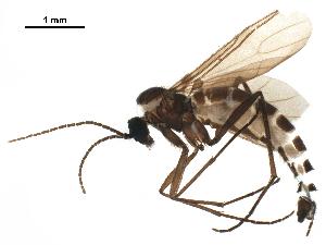 (Pseudolycoriella bruckii - BIOUG42711-H03)  @11 [ ] CreativeCommons - Attribution Non-Commercial Share-Alike (2019) CBG Photography Group Centre for Biodiversity Genomics