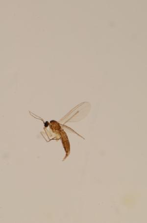 (Corynoptera postglobiformis - BIOUG08132-E11)  @12 [ ] CreativeCommons - Attribution Non-Commercial Share-Alike (2015) SNSB, Zoologische Staatssammlung Muenchen SNSB, Zoologische Staatssammlung Muenchen