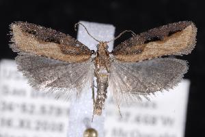 (Epinotia kasloana - 2008GM-0082)  @14 [ ] Copyright (2010) Unspecified Unspecified