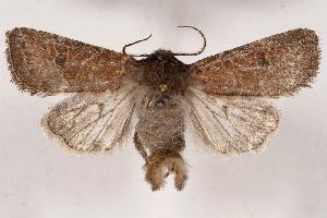 (Protorthodes rufula - 2011GM-0210)  @15 [ ] Copyright (2011) Gary McDonald Unspecified