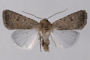 (Caradrina sp - 2011GM-0512)  @15 [ ] Copyright (2011) Gary McDonald Unspecified