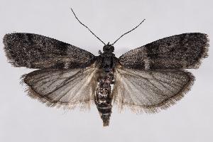 (Apomyelois bistriatella - 2011GM-0528)  @15 [ ] Copyright (2011) Gary McDonald Unspecified