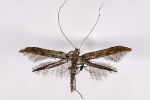 (Caloptilia agrifoliella - 2011GM-0537)  @13 [ ] Copyright (2011) Gary McDonald Unspecified