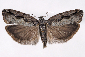 (Epinotia cercocarpana - 2011GM-0546)  @14 [ ] Copyright (2011) Gary McDonald Unspecified