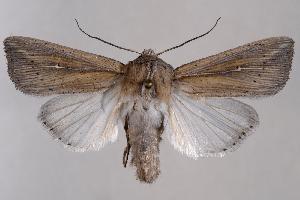 (Leucania oregona - 2011GM-0550)  @14 [ ] Copyright (2011) Gary McDonald Unspecified