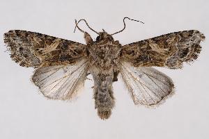 (Spodoptera praefica - 2011GM-0589)  @15 [ ] Copyright (2011) Gary McDonald Unspecified