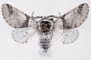(Furcula scolopendrina - 2011GM-0657)  @15 [ ] Copyright (2011) Gary McDonald Unspecified