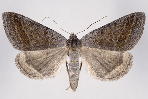 (Caenurgia togataria - 2011GM-0779)  @16 [ ] Copyright (2011) Gary McDonald Unspecified