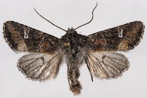 (Lacinipolia circumcincta - 2011GM-0922)  @15 [ ] Copyright (2011) Gary McDonald Unspecified