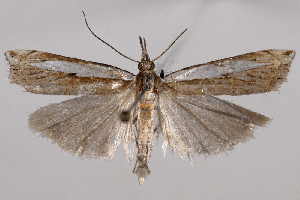 (Crambus rickseckerellus - 2011GM-0946)  @15 [ ] Copyright (2011) Gary McDonald Unspecified