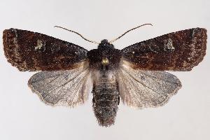 (Homoglaea dives - 2011GM-0962)  @14 [ ] Copyright (2011) Gary McDonald Unspecified