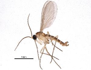 (Corynoptera furcifera - BIOUG15765-B03)  @14 [ ] CreativeCommons - Attribution Non-Commercial Share-Alike (2015) CBG Photography Group Centre for Biodiversity Genomics