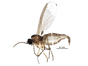 (Corynoptera furcata - BIOUG15807-A06)  @14 [ ] CreativeCommons - Attribution Non-Commercial Share-Alike (2015) CBG Photography Group Centre for Biodiversity Genomics