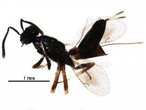 (Eupelmus annulatus - BIOUG24493-E01)  @14 [ ] CC-0 (2016) CBG Photography Group Centre for Biodiversity Genomics