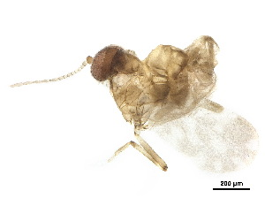 BOLD Systems: Taxonomy Browser - Culicoides {genus}