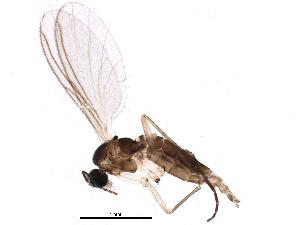 (Corynoptera concinna - BIOUG13392-E12)  @14 [ ] CreativeCommons - Attribution Non-Commercial Share-Alike (2014) CBG Photography Group Centre for Biodiversity Genomics