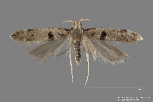 (Deltophora glandiferella - DNA_SL0601)  @14 [ ] Copyright (2017) Sangmi Lee Arizona State University Hasbrouck Insect Collection
