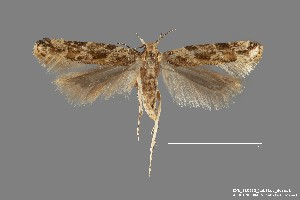 (Aristotelia sp. 8SL - DNA_SL0633)  @11 [ ] Copyright (2017) Sangmi Lee Arizona State University Hasbrouck Insect Collection