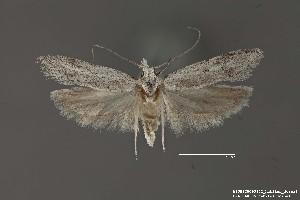 (Gelechiidae_gen - DNA_SL0685)  @14 [ ] Copyright (2017) Sangmi Lee Arizona State University Hasbrouck Insect Collection