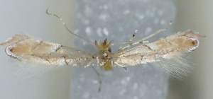 (Phyllonorycter amseli - CLV5840)  @12 [ ] Copyright (2013) Stanislav Gomboc Unspecified