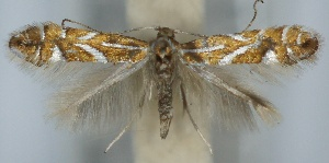 (Phyllonorycter hostis - CLV5852)  @14 [ ] Copyright (2013) Stanislav Gomboc Unspecified