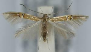 (Cosmopterix lienigiella - CLV5962)  @14 [ ] Copyright (2013) Stanislav Gomboc Unspecified