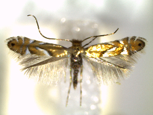 (Phyllonorycter aeriferella - CLV6258)  @14 [ ] CreativeCommons – Attribution Non-Commercial Share-Alike (2016) Carlos Lopez Vaamonde Institut National de la Recherche Agronomique, Zoologie Forestiere