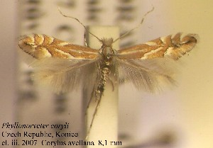 (Phyllonorycter coryli - A01coryl)  @14 [ ] Copyright (2010) Zdenek Lastuvka Research Collection of Ales Lastuvka