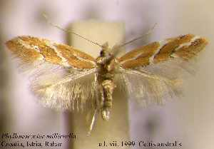 (Phyllonorycter milleriella - B04milli)  @11 [ ] Unspecified (default): All Rights Reserved  Unspecified Unspecified