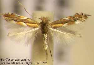 (Phyllonorycter graecus - B05graec)  @11 [ ] Unspecified (default): All Rights Reserved  Unspecified Unspecified