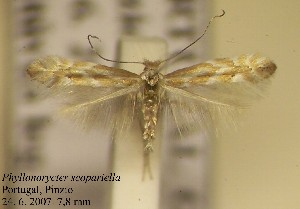 (Phyllonorycter scopariella - C03scopa)  @13 [ ] Copyright (2010) Jurate de Prins Research Collection of W. and J. De Prins
