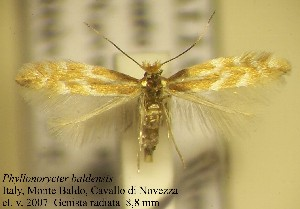 (Phyllonorycter baldensis - C10balde)  @14 [ ] Copyright (2010) Jurate de Prins Research Collection of W. and J. De Prins