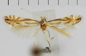 (Phyllonorycter albidorsella - CLV4710)  @11 [ ] Unspecified (default): All Rights Reserved  Unspecified Unspecified