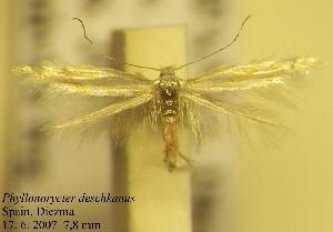 (Phyllonorycter deschkanus - D03desch)  @13 [ ] Copyright (2010) Jurate de Prins Research Collection of W. and J. De Prins