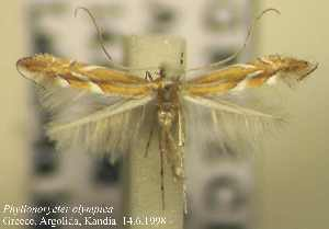 (Phyllonorycter olympica - D10olymp)  @14 [ ] Copyright (2010) Jurate de Prins Research Collection of W. and J. De Prins