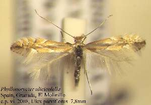 (Phyllonorycter ulicicolella - D11ulic)  @14 [ ] Copyright (2010) Zdenek Lastuvka Research Collection of Ales Lastuvka