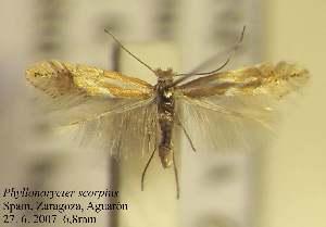 (Phyllonorycter echinosparti - D12scorp)  @13 [ ] Copyright (2010) Zdenek Lastuvka Research Collection of Ales Lastuvka