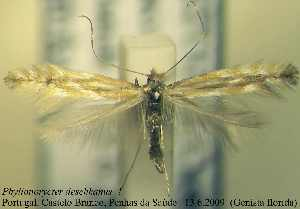 (Phyllonorycter floridae - D03phflo)  @13 [ ] Copyright (2010) Jurate de Prins Research Collection of W. and J. De Prins