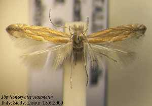 (Phyllonorycter retamella - D06reta)  @11 [ ] Unspecified (default): All Rights Reserved  Unspecified Unspecified