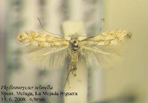 (Phyllonorycter telinella - E02telin)  @14 [ ] Copyright (2010) Zdenek Lastuvka Research Collection of Ales Lastuvka